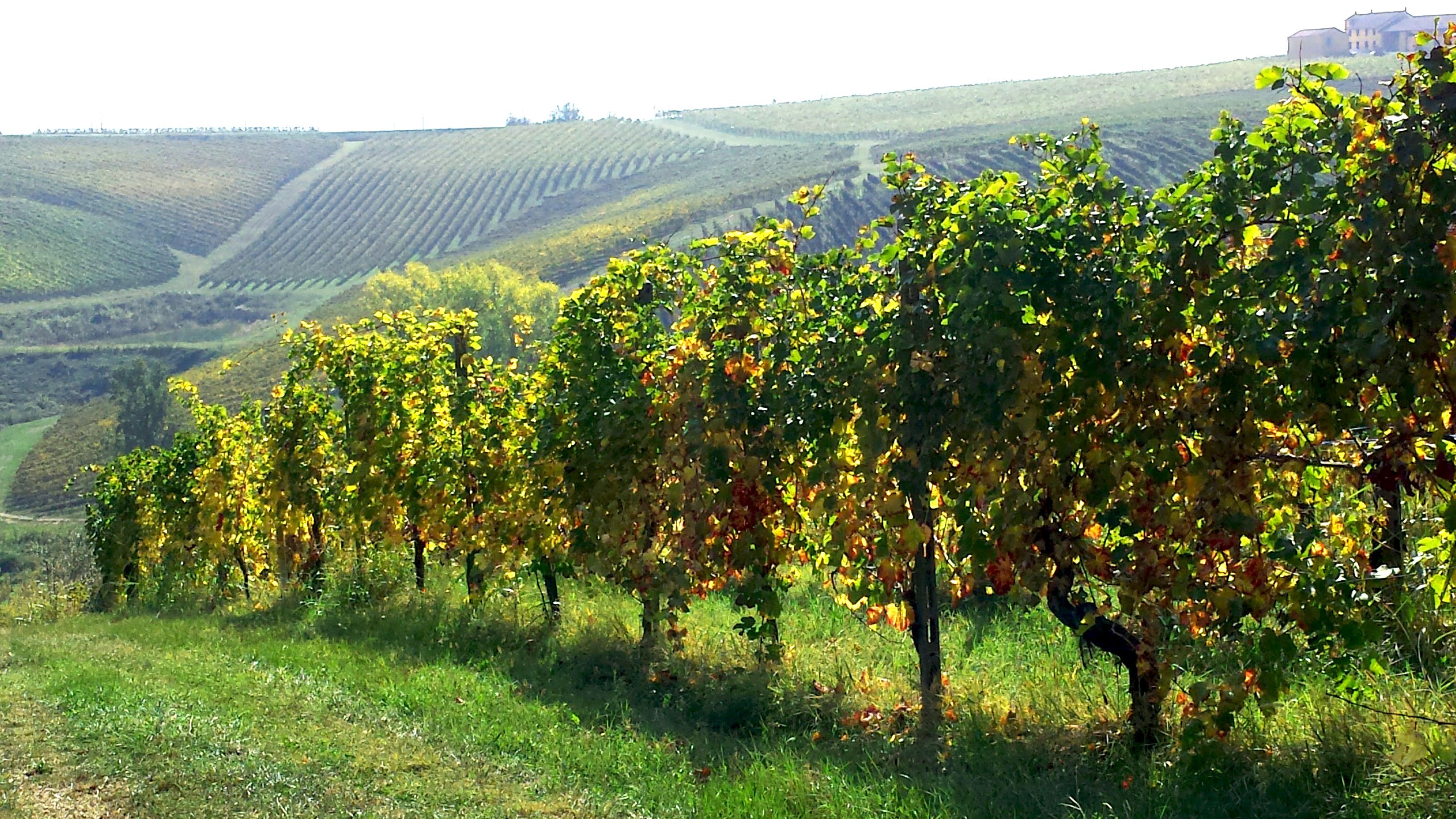montenato-griffini-vigneto-autunno