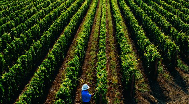 Masciarelli, vini d'Abruzzo tra tradizione e innovazione